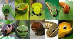 caterpillars with marvellous disguises