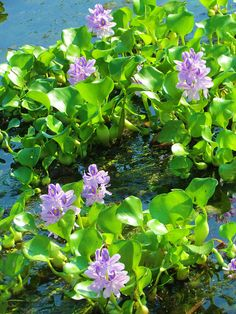 Water Hyacinths- terrible for the environment,but i loved them as a child