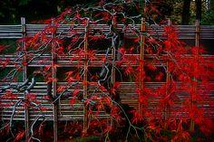 Google Image Result for http://www.jonmaxsonphotographs.com/wp-content/uploads/2011/02/Red-Japanese-Maple-Japanese-Garden-Edit-Edit.jpg
