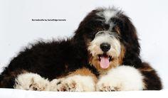 A bernedoodle from Swissridge kennels. bernedoodl, anim, dog, imagin pet