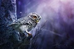 Spotted Owlet, by Sasi-smit