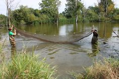 Pond Lab - Ryan and Edward are using a seine net to collect pond organisms.