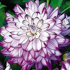 dun, dinner plates, dahlias, white flower beds, garden, annual flower beds, purple annuals, huge bloom, dinnerpl dahlia