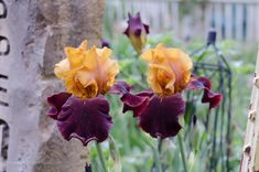 You're invited to tour a glowing iris garden.