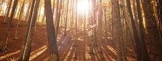Sun shining through maple trees.
