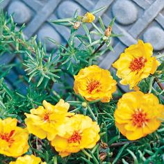 Portulaca-- annual for sun-baked areas like along driveways; rarely needs watered; creeps along and flowers all summer
