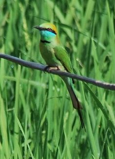 Little Green Bee-eater. A small beautiful coloured bird from Benaulim Beach, Goa India