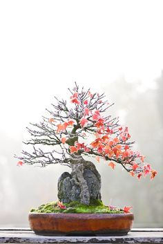 Trident maple :: Walter Pall Bonsai Adventures