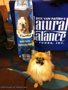 Whirlwind of Surprises: #BlogPaws -The Fluffy Experience #BlogPawsQuotes -#BabyPom posing with his win from Natural Balance