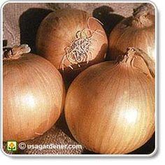 Onion - growing Onions - how to grow Onions