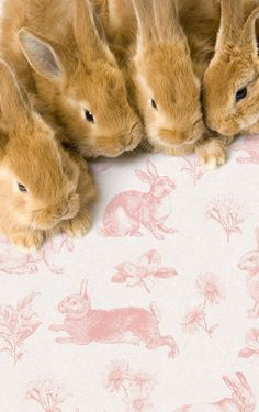 anim, rabbits, pets, baby bunnies, french country, pink, toile de jouy, easter bunny, friend