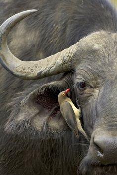 animals, bugs, little birds, buffalo photograph, south africa, wildlife, cape buffalo, friend, buffalo africa