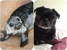 I have decided that seals are just pug mermaids.