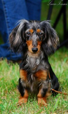 Look at this beautiful Doxie!!