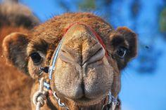 Camel by Veyis Polat #Camel