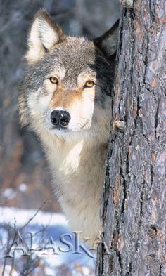 Beautiful Alaskan Wolf