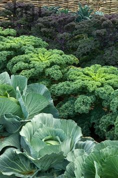 Some of the most beautiful planting combinations are vegetables