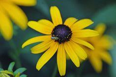 bee augochlorellaa, habitat garden, butterfli habitat, sweat bee, garden flower
