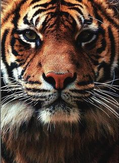big cats, animals, painting flowers, beauty, tigers, animal planet, kitty, beautiful creatures, eyes