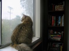 The emo-est of Siberian cats all sitting at the window contemplating the rain. Somebody get her a cup of hot tea. (This cat happens to be my own.)