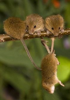 field mouse 9 Amazing Photos of Field Mouse