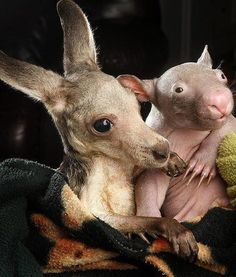 Anzac the kangaroo and Peggy the wombat. These two were put in the same pouch at birth and have been inseparable since.    Photo by Rob Leeson