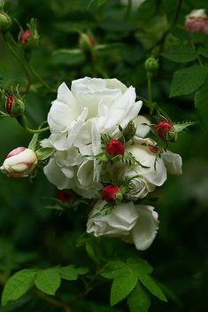 Rosa alba-hybrid