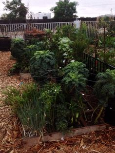 Out Victory Garden seems to have survived the 106 heat wave of 2014!