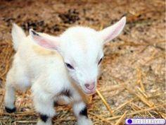 baby! baby lamb, pet, pygmy goats, baby animals, animal babies, greek mythology, little animals, baby goats, babi goat