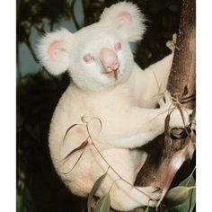 albino koala..