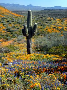The desert in bloom. Arizona.