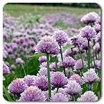 Organic Herb Seeds-Chives