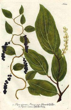 Johann Weinmann  Black Pepper Plant