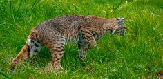 Bobcat Near Bodega Bay