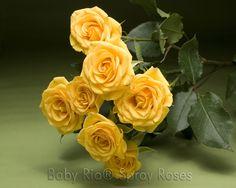 Baby Rio® YELLOW BABE Spray Rose