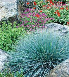 Blue fescue   One of the most versatile ornamental grasses, blue fescue can be used in many different ways. Plant it at the base of leggy shrubs or tall perennials, such as lilies, to help them blend with the landscape and offset the other plant's flowers or foliage. Plant in masses as a groundcover or in rows as an edging plant. Use as an accent in a rock garden or flower border.