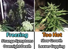Freezing vs Heat symptoms - this diagram shows how cannabis plants react to too-hot or too-cold conditions.