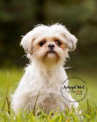 Pearl is an adoptable Shih Tzu Dog in Wooster, OH. Pearl is a 8 years young, DARLING little Shih Tzu. She came to us as an owner release. Her owner became ill and had many dogs she could no longer car...