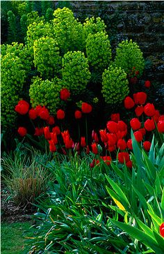 love the color contrast...looks like tulips with a blooming euphorbia?