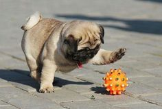 Pugs love to play