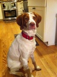 MOLLY 4304 VA is an adoptable Brittany Spaniel Dog in Altoona, PA. Age/Sex: 1 year 3 month old spayed female  Details: House Broken, OK with dogs and kids, Needs fence Location: Roanoke, VA Email Addr...
