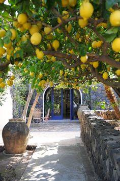 Lemon trees in Sicily, Italy.