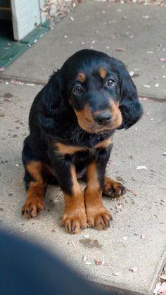 .      - Gordon Setter. Want more? Follow: http://dogsandpupsdaily.tumblr.com/