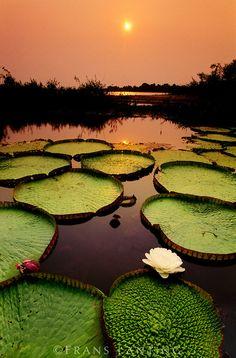 Water lilies at sunset, Victoria regia, Paraguay River, Pantanal, Brazil
