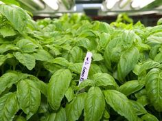 Hydroponic basil growing at FarmedHere under T8 fluorescent lights...