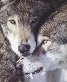 Love ... #wolves #dogs