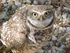 Burrowing Owl (Athene cunicularia). Photo by Robert Suplee.