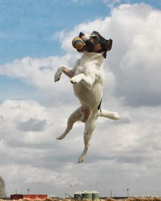 File:Jack Russell catching ball.jpg