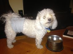 Dexter is wearing his homemade belly band/doggie diaper