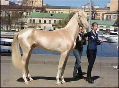 """This stunning Akhal-Teke horse from Turkmenistan was announced the most beautiful horse in the world  The Akhal-Teke's most notable and defining characteristic is the natural metallic bloom of its coat. This is especially seen in the palominos and buckskins, as well as the lighter bays, although some horses """"shimmer"""" more than others."""